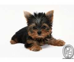 Yorkshire Terrier Puppies For Sale In India In Mumbai Maharashtra