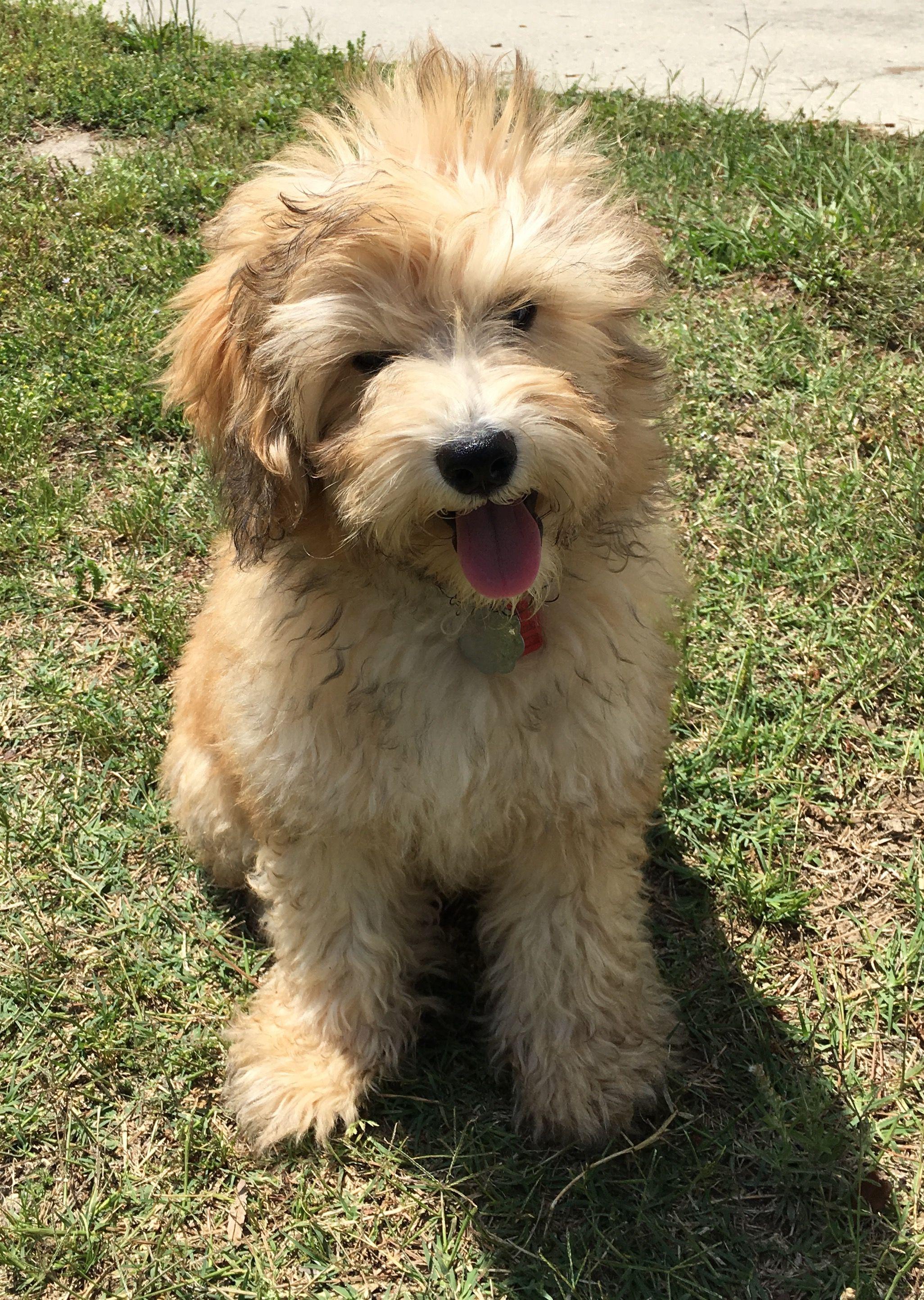 My Schnoodle Harvey Schnoodle Pedigree Dog Pet Dogs