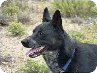 Ziggy Adopted Dog Yerington Nv Australian Kelpie Australian