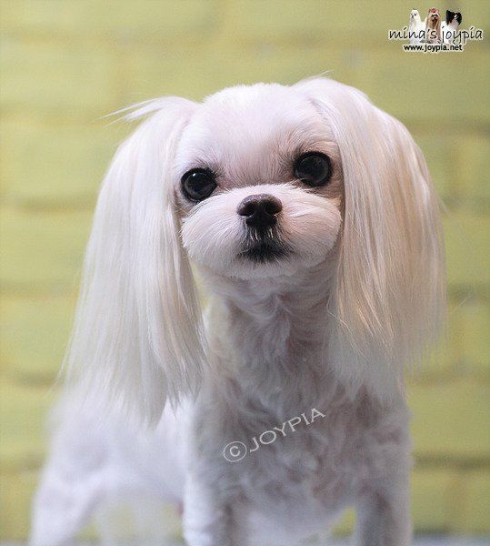 Korean Dog Grooming Style Maltezer Maltese Haircut Dog