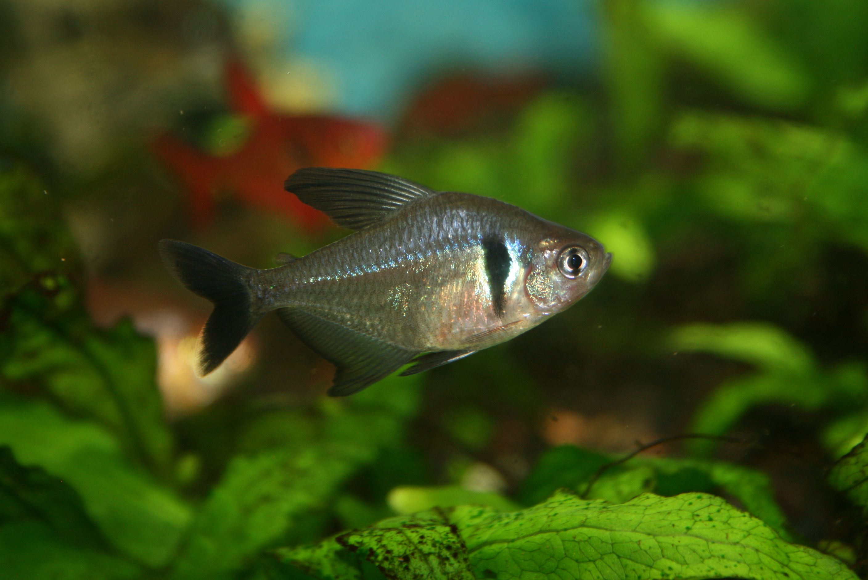 Black Phantom Tetra Tetra Fantome Noir Hyphessobrycon Megalopterus Aquarium Fish Fish Pet Tropical Fish