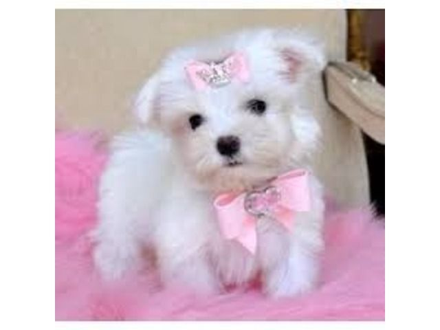 Two Top Class Maltese Puppies Available 402 370 6830 Maltese Puppy Teacup Puppies Maltese Teacup Puppies