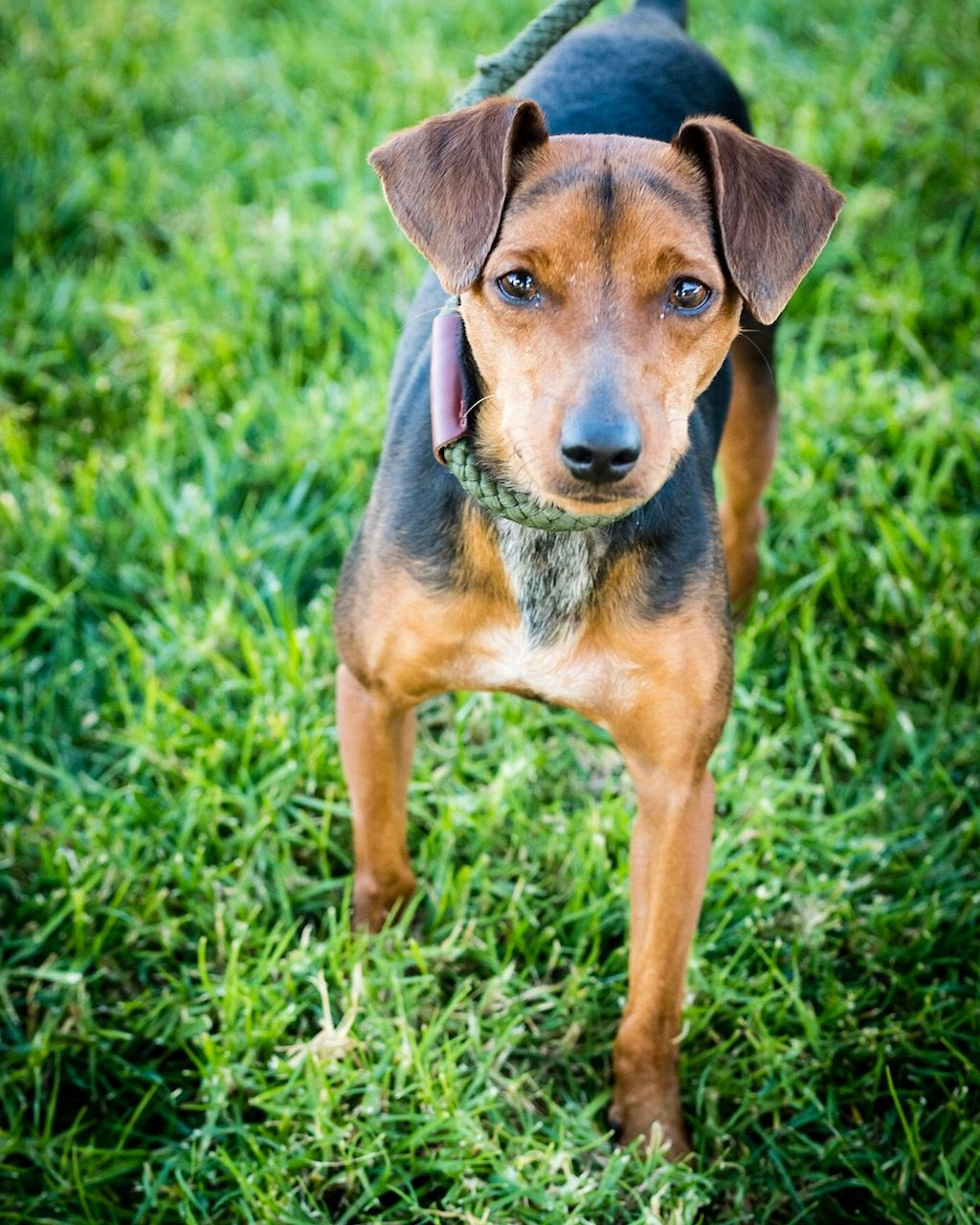Miniature Pinscher dog for Adoption in See Website, CA