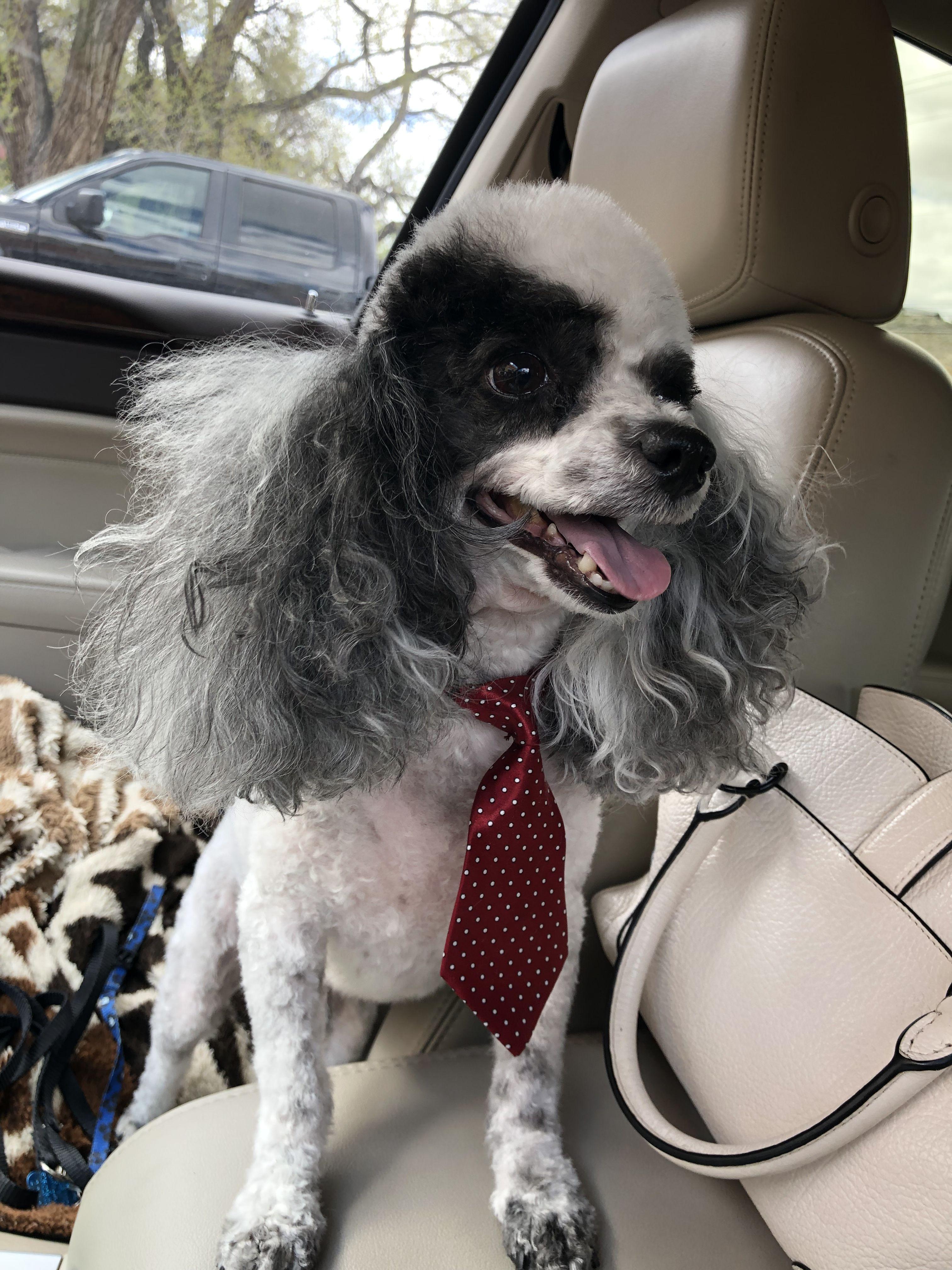 #toypartipoodle #poodle #dogwearingatie