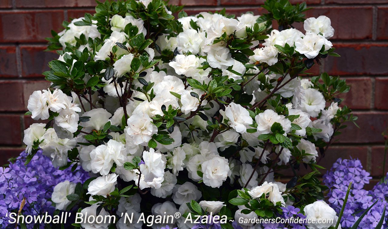 Add A Flurry Of White With These Beautiful Double Blooms On Snowball Bloom N Again Azaleas Landscaping Inspiration White Flowers Azaleas