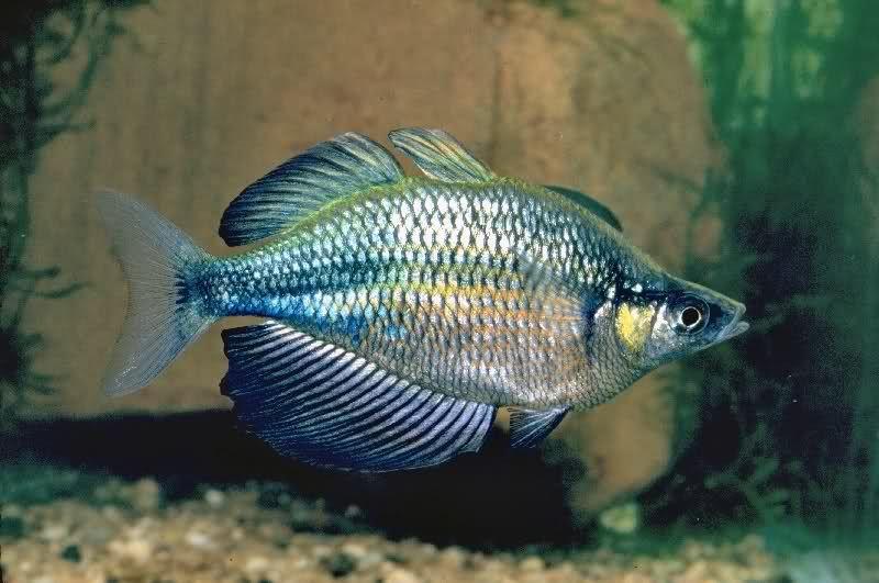 "Glossolepis wanamensis - ~5"" rainbowfish from Lake Wanam ..."