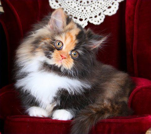 You Only Understand Once Have Loved A Calico Rug Hugger Persian Kitten