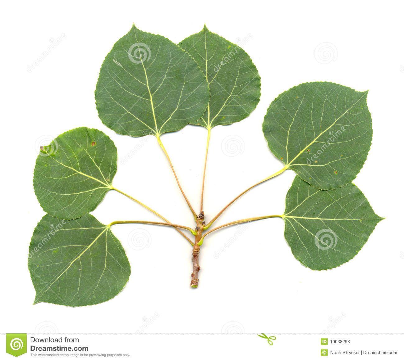 Aspen Leaves Isolated Aspen Leaf Leaves Aspen Trees