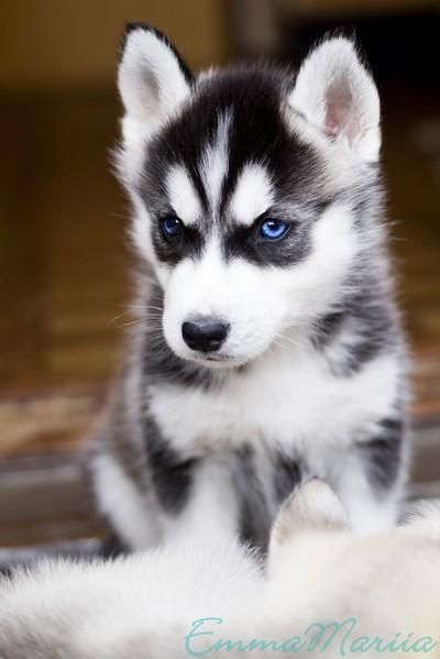siberian husky wallpaper Google zoeken Kittens and