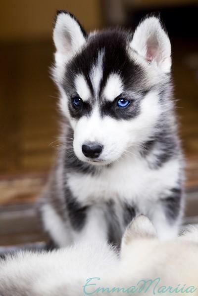 Siberian Husky Wallpaper Google Zoeken Cute German Shepherd Puppies Cute Dog Wallpaper Husky Puppy