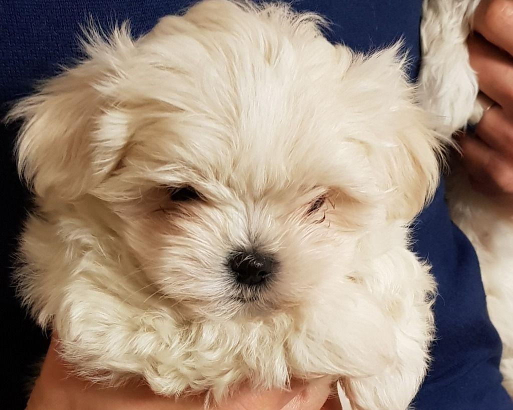 Bellissima Cucciola Di Maltese Toy Annunci Animali Maltese Dogs