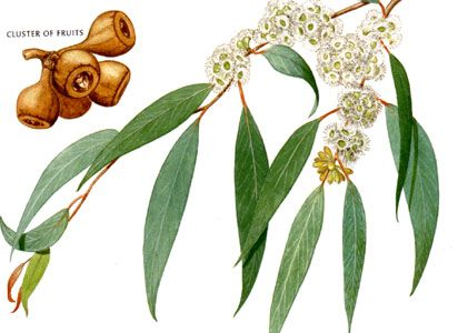 Eucalyptus radiata.  Known as expectorant, this oil is used to fight against respiratory problems and allergic rhinitis inhalation and friction. tonic and refreshing , it is also known to clarify ideas.