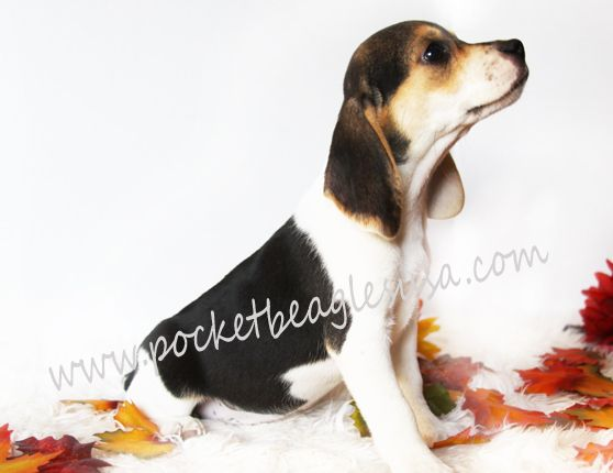 Wonderful Small Beagle Adorable Dog - d317fbb58496fafe8ae008fe41b0ba61  Photograph_586164  .jpg