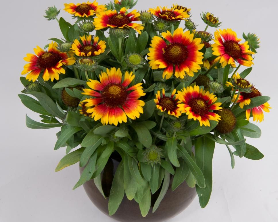 Gaillardia Galya 'Blazing Sun' Gaillardias are the 2015