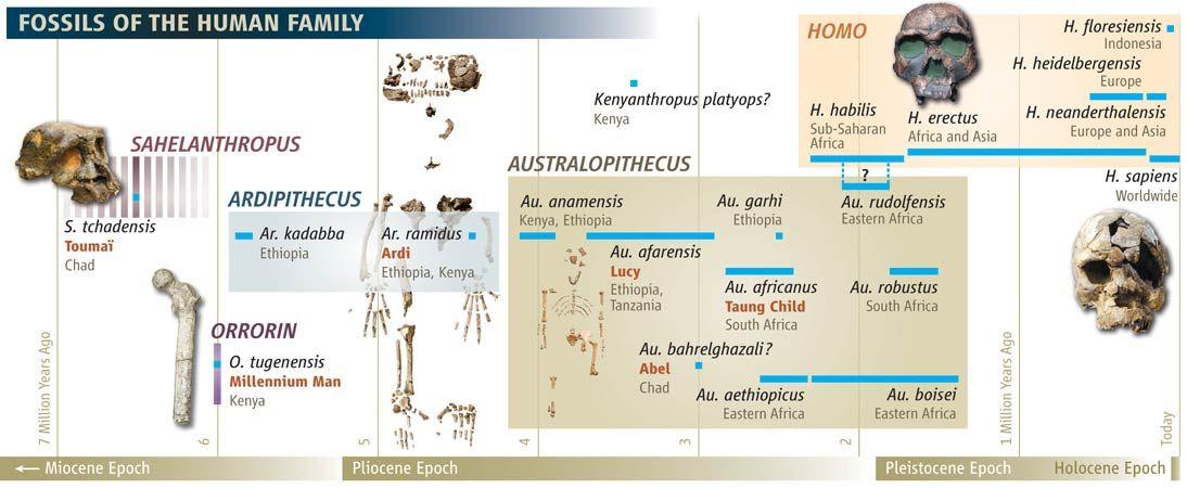 Human Evolution Tree  Ethiopian Desert Yields Oldest Hominid