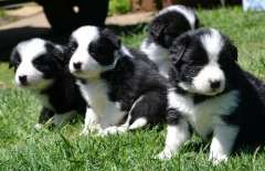 Border Collie Pups Puppies For Sale Noble Park North Victoria Border Collie Dogs For Border Collie Puppies Collie Puppies For Sale Collie Puppies