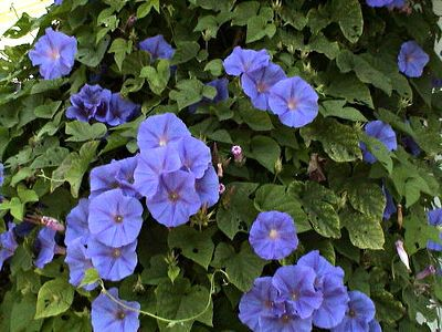 Morning Glories--plant these somewhere, really,  Find a place and do it this spring!