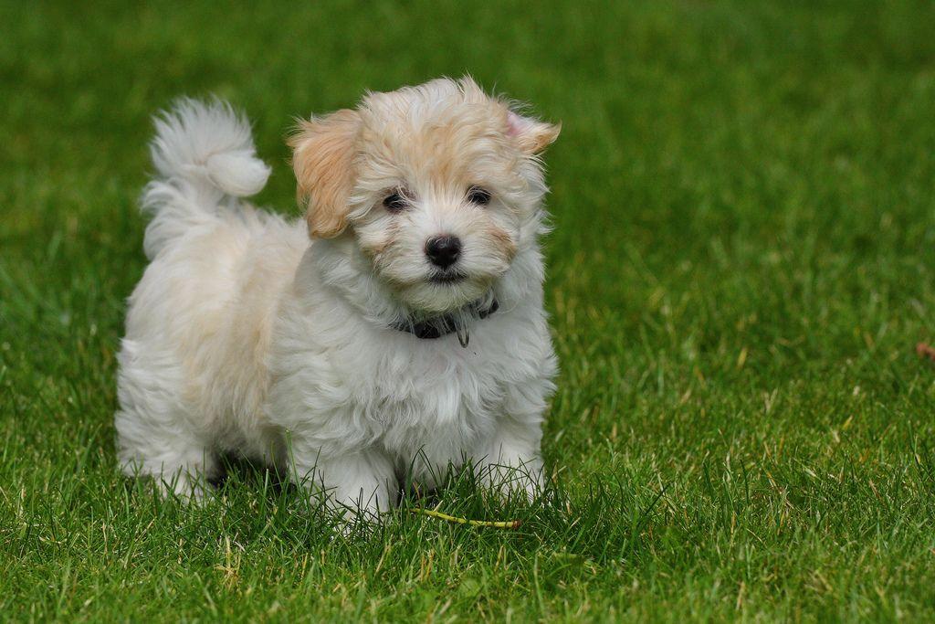 Havanese Pup 8 Weeks Havanese Puppies Cute Dogs Dog Breeds