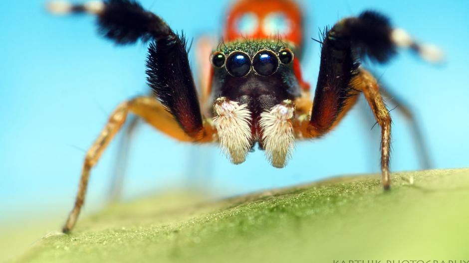 105mm F2 8 Ex Dg Os Hsm Macro Jumping Spider Jumping Spider Cute Spider Cute