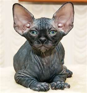 The Sphynx Cat...Ok...This cat isn't cute but sure is ...