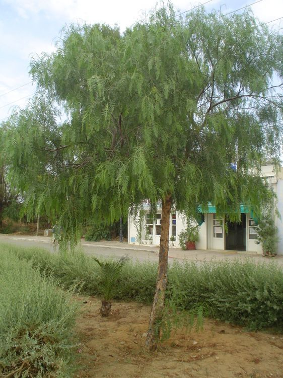 Schinus Molle California Pepper Tree Pepper Tree Drought