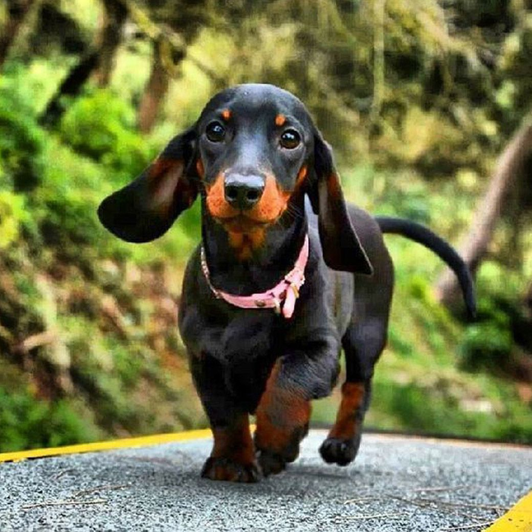 The Dachshund And A Dachshund Toy Nonstop Dachshund Puppies