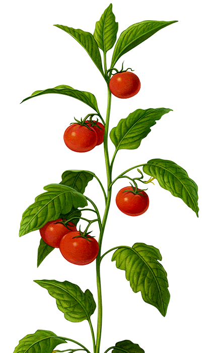 Our Varieties Savoura The Taste Comes Out On Top Hydroponic Tomatoes Tomato Farming Hydroponics
