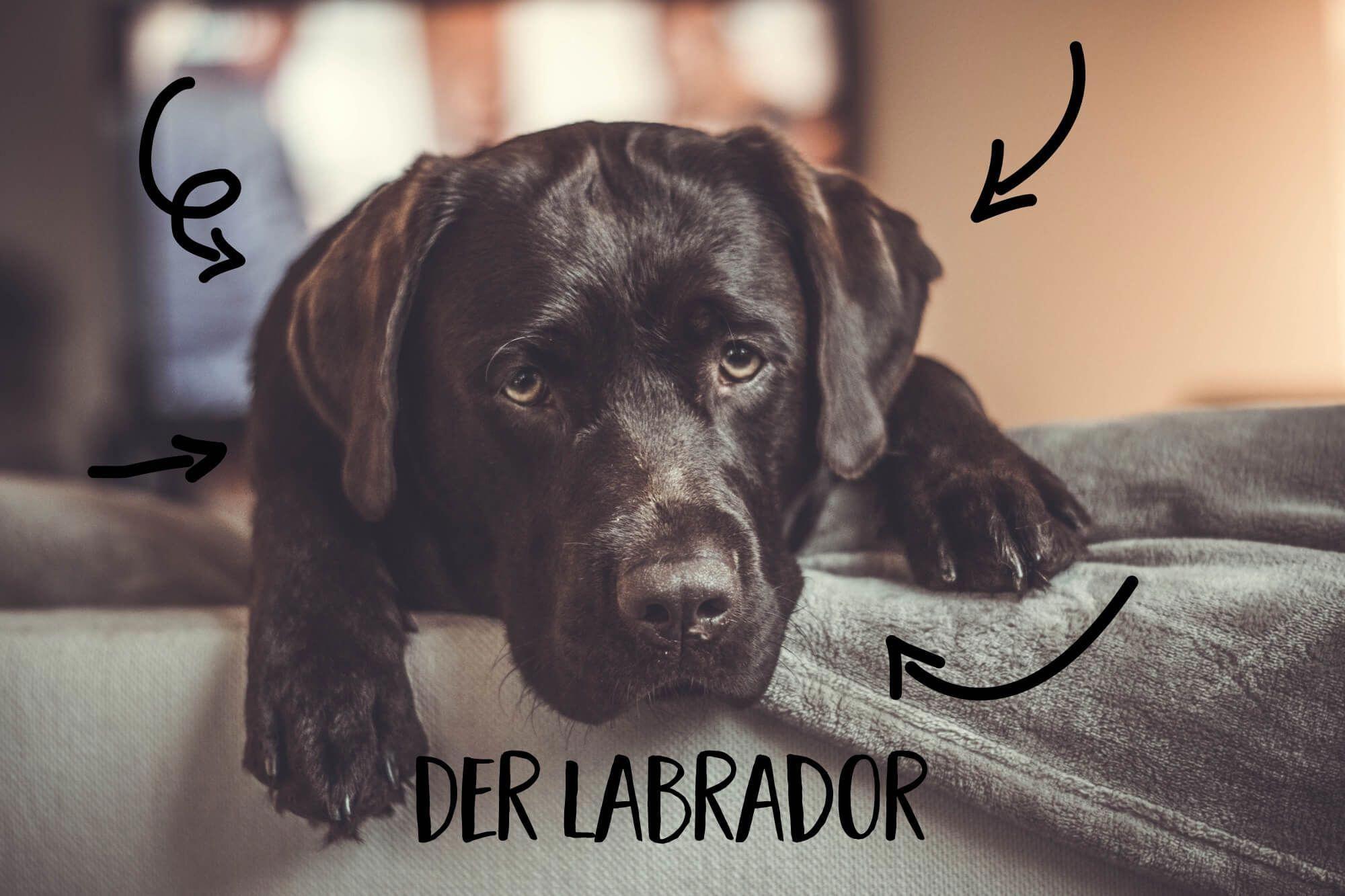 Immer Diese Vorurteile Der Labrador Aber Wir Alle Kennen Sie