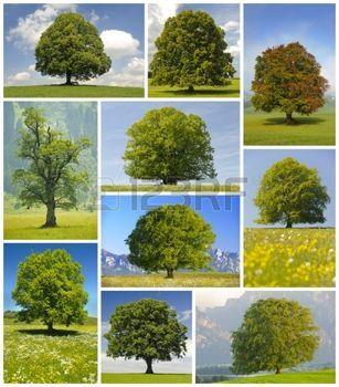 feuille de h tre collage de grands arbres planter un. Black Bedroom Furniture Sets. Home Design Ideas