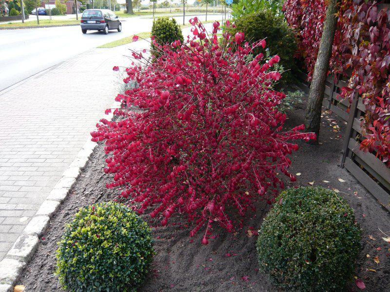 11 besten Pflanzen mit leuchtend roter Herbstfärbung Bilder auf - gartenpflanzen