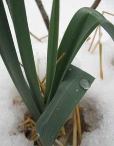 Why and how to grow a variety of cold weather greens in most climates.