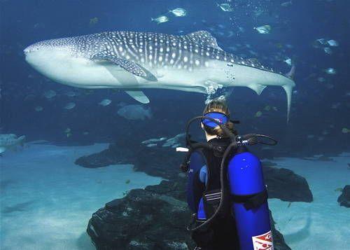 Sheraton Atlanta Pictures Whale Shark Scuba Travel Whale