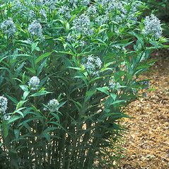 Plant Form Amsonia Tabernaemontana Eastern Blue Star By Hal