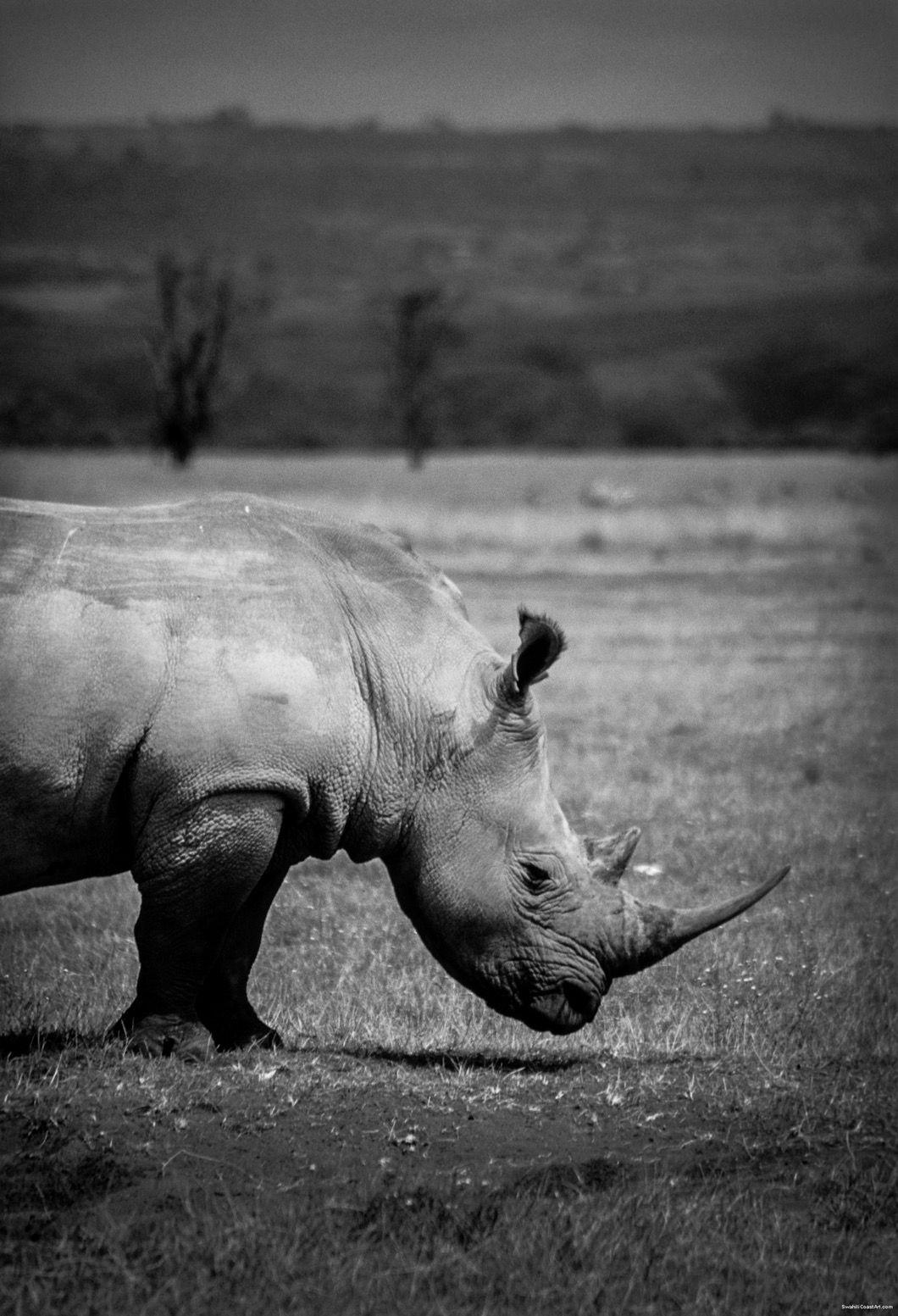 Rhino in Black and White by Jesse jessegoobz African