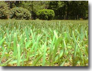 Bahia Grass Argentine Variety Decent Choice For Infertile Soil Needs Full Sun Course But Thick Covering Bahia Grass Summer Lawn Care Bahia Grass Lawn