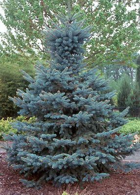 Baby Blue Eyes Spruce Colorado Blue Spruce Picea Pungens Colorado Spruce