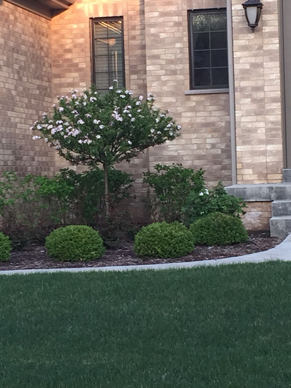 Dwarf tree front yard pinterest dwarf trees and trees for Small dwarf trees for landscaping