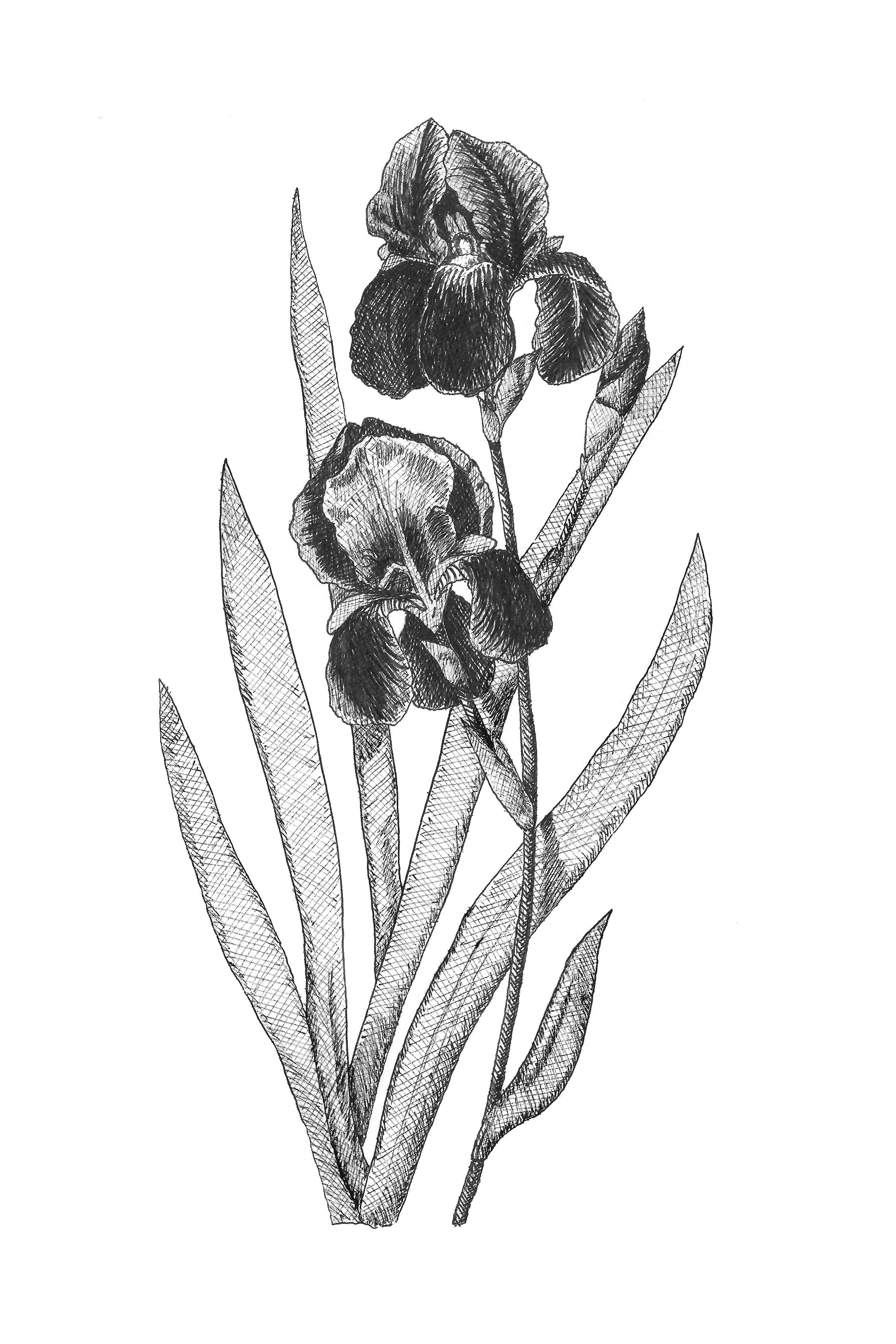Iris Botanical Illustration Botanical Wall Art Black And White Bluebonnet Printable Tennessee State Flower In 2020 Botanical Illustration Botanical Wall Art Illustration