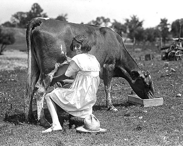 Girl Milking Guernsey Cow in Field. Plainfield, Indiana