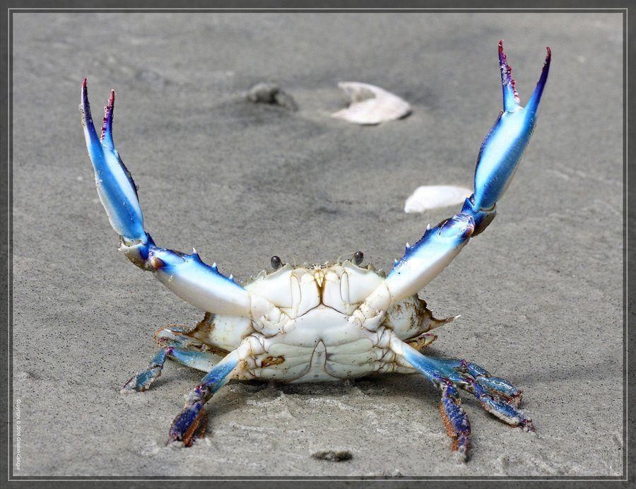 Blue Crab (Callinectes sapidus), on the beach at Hunting Island ...