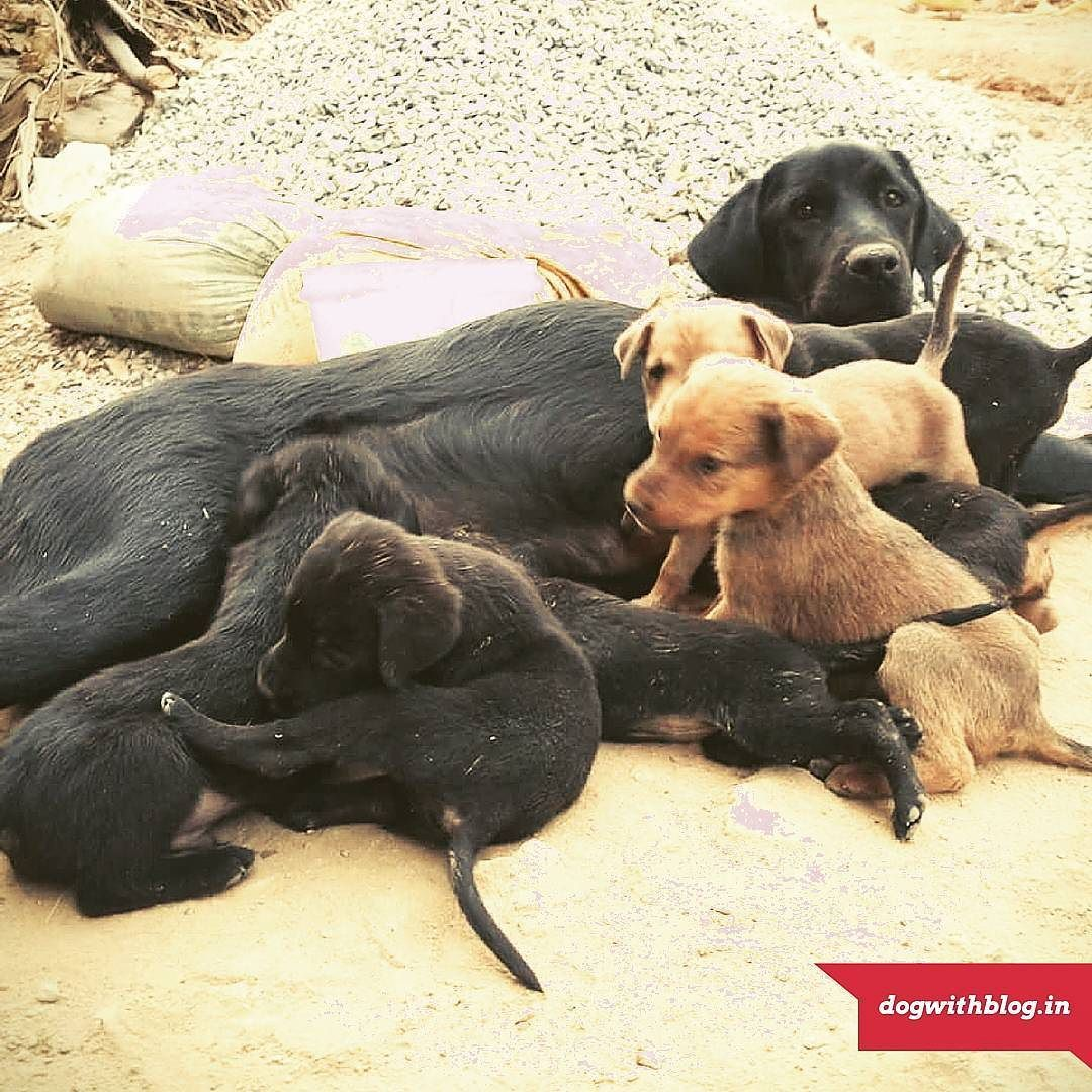 Bangalore Adoption Please Help These Seven Puppies Find Loving Homes The Mother A Labrador Was Found Abandoned And Brought Home Puppy Find Puppies Labrador