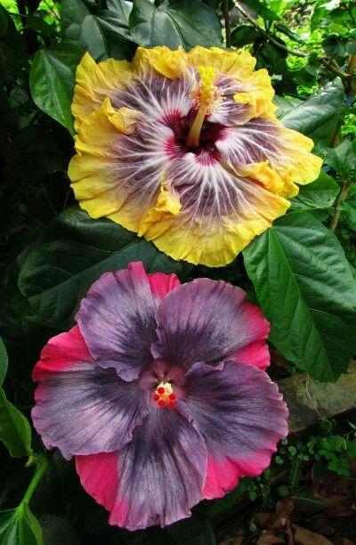 Aneela L Hibiscus Plant Tropical Flower Plants Hibiscus