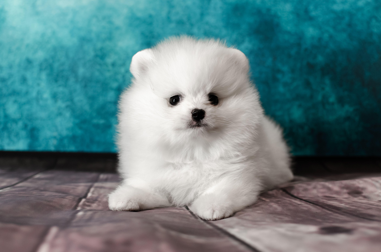 Dakota A Beautiful Pomeranian Baby Girl In 2020 Spitz Puppy Pomeranian Puppy For Sale Puppies