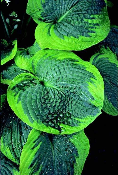 kuunliljoissa on valtavat määrät erilaisia lehtimuotoja. Perussääntö on se, että mitä syvemmän vihreä lehti (=paljon kasvin aineenvaihduntaa hoitavaa klorofylliä), sitä vähemmällä valolla kasvi pärjää. Kuunliljat ovat upeita lehtiensä takia koko kesän, mutta kukkivat myös loppukesästä