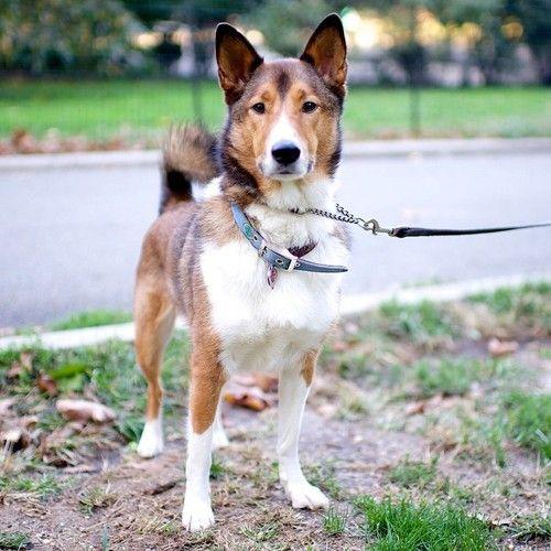Oz Collie Shiba Inu Mix Hunde