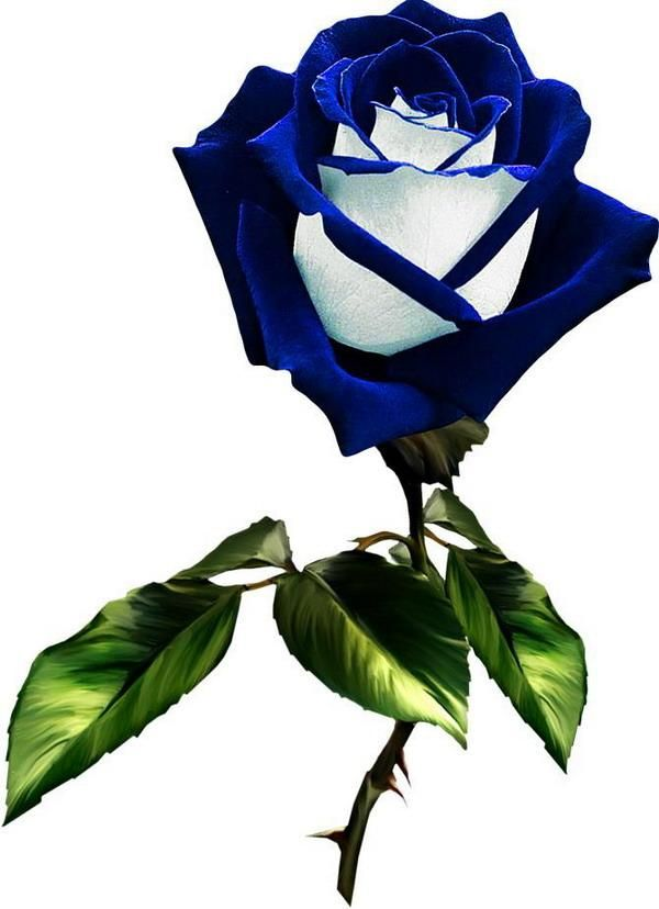 Синие розы рисунок