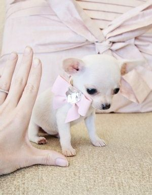 Via Micro Teacup White Chihuahua Puppy Love Cute Chihuahua
