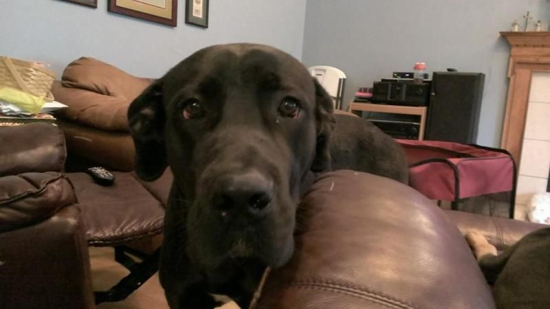 Adopt Bruno On Great Dane Dogs Dane Dog Great Dane Mastiff Mix