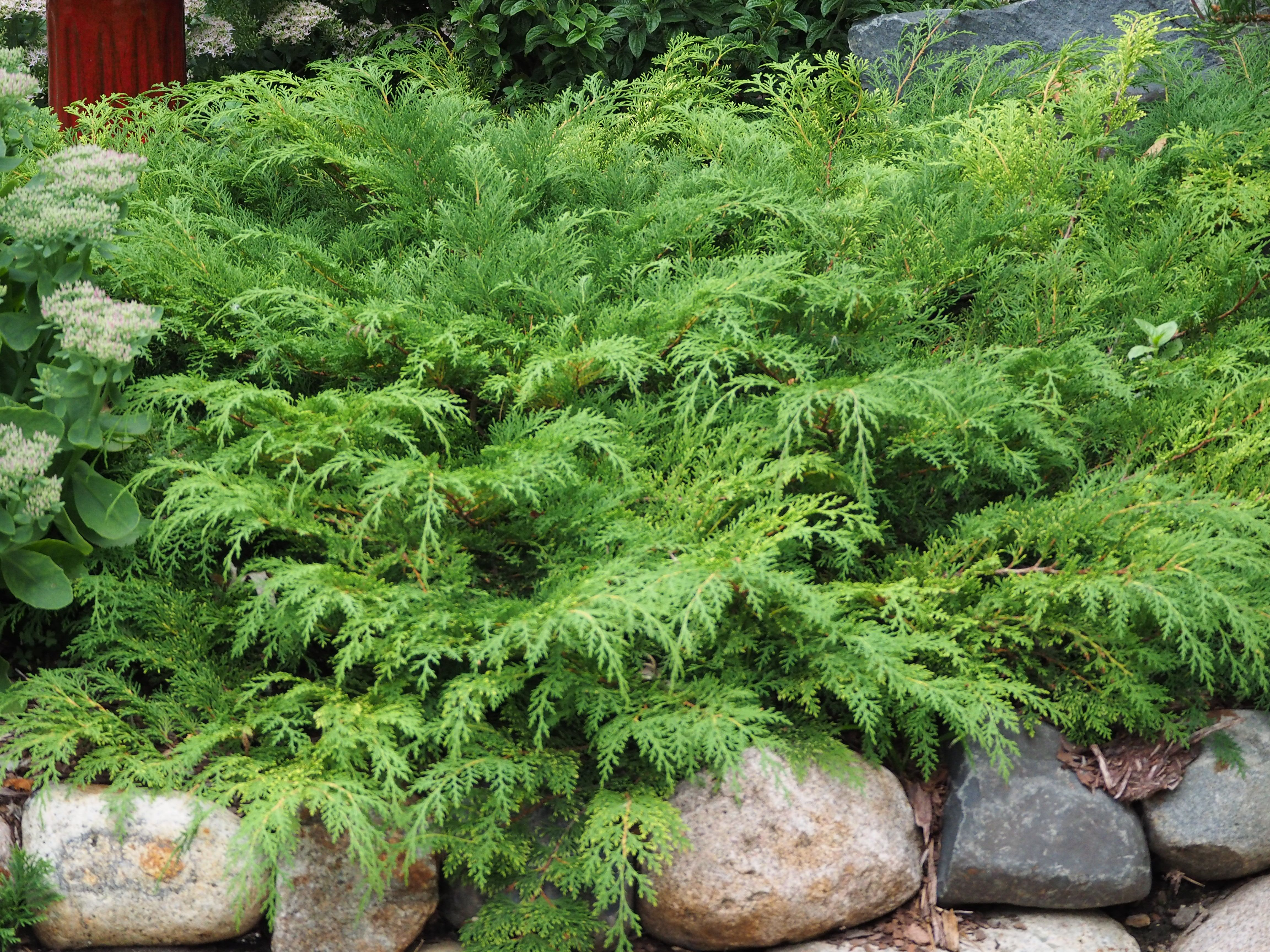 russian cypress very hardy low and wide bronze to purple