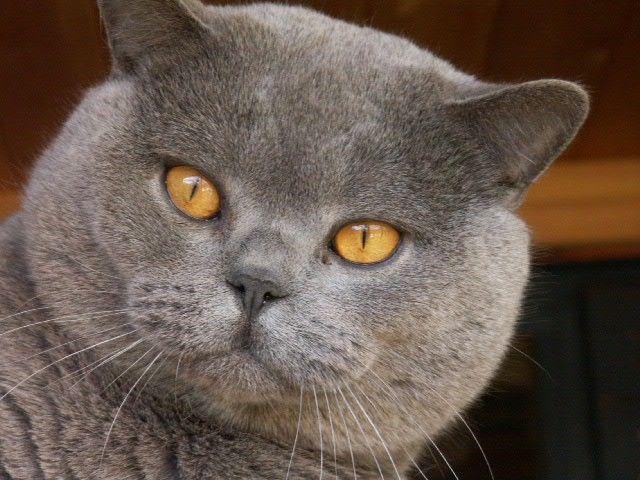 Loraston British Shorthair Cats Kittens Hobbyist Breeder Of British Shorthairs In Hampshire British Shorthair Cats Cats And Kittens British Blue Cat